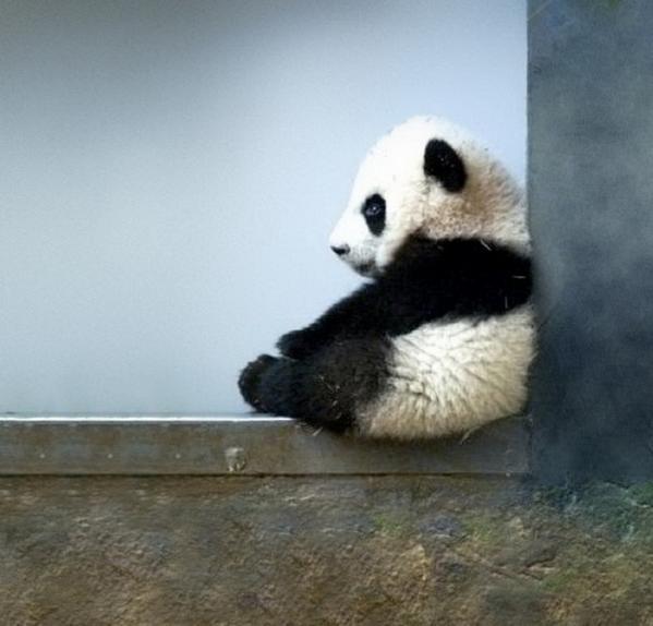 Доброе утро. Вот интересно, а почему панды всегда вызывают приступ умиления? #goodmorning #мимими http://t.co/cuUhkLLrPY