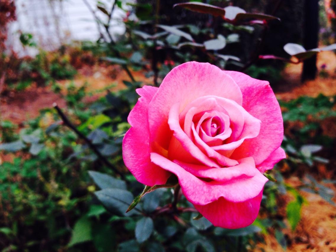 One more rose. Oh, will I miss you for the next six months. #hellowinter  #fallrose http://t.co/KBEYzKIiSu
