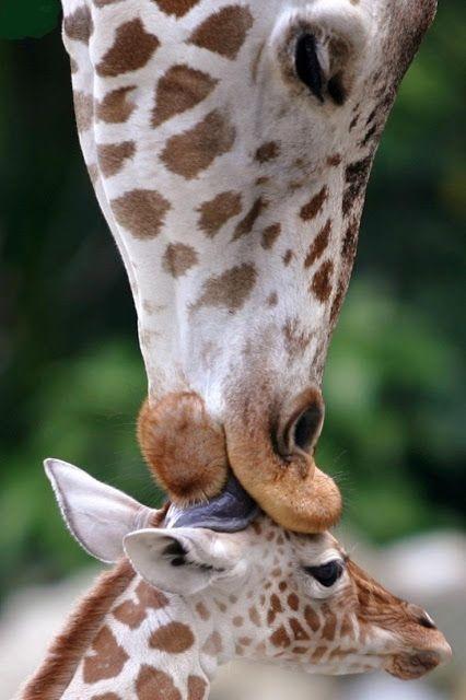 "RT @ZoraidaPalacios: ""@Protect_Wldlife: Love #Giraffe http://t.co/YdUI4oIZBx"""