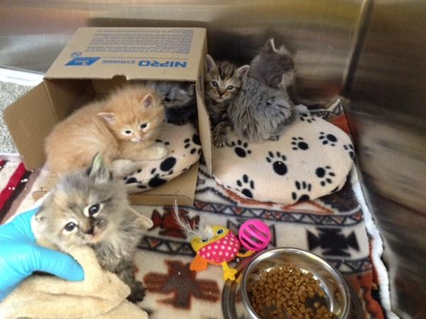 New kittens arrived in #KFP this morning! They'll be up for adoption in a few weeks @adoptnshop #NationalCatDay http://t.co/loy2FobOvl