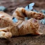 RT @supakittymeow: Heres a cat playing with butterflies so much cutenesd omfg http://t.co/KLUkCzA5Ma