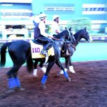 .@jimromes Shared Belief schooling in the paddock in preparation for the @BreedersCup Classic! http://t.co/nTFulDdymY