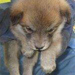 【#緊急 #拡散】明日31日期限!(28日収容)×9頭 こんなに可愛い #子犬 達、人馴れしている仔も多数。お迎え待っています、救われますように #栃木県 #動物 愛護指導 #センター 028-684-5458 #犬 #里親 #募集中 http://t.co/zOrDI1xWv9