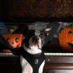 Batdog!!! RT @edinburghpaper: Dogs don fancy dress for Hallowe'en http://t.co/GcEnDqaxkQ http://t.co/PP8ehW3wE9