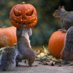 Squirrel Tries To Steal A Carved Pumpkin From Photographer's Backyard (5 pics): http://t.co/AW5nIhXB6f #animal http://t.co/leIXbGaIvG