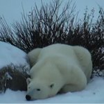 Check out the polar bear cam!! We join the bears at 12:33 on Radio Noon 89.3fm/990am http://t.co/YTgYJWlbA9 #cbcmb http://t.co/OnGGZToI6U