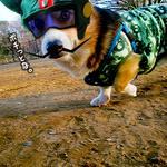 ボヤッキーからHappy Halloween! #ハロウィン #corgi #コーギー #dog http://t.co/7M26LLYUQr