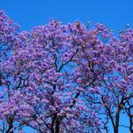 Gotta love #Jacaranda time in #Perth. #Vicparklife @tweetperth @townofvicpark http://t.co/TJcRPvnlQW