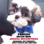 Este perrito Shitzu mini está perdido desde el pasado domingo. Ayuda a encontrarlo. Informes 3017882062 - 3017881235 http://t.co/x0JJRmUNMb