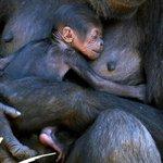 Meet three-day-old baby gorilla Mbeli http://t.co/dqsXP3AEbx http://t.co/11EpSQbc8v