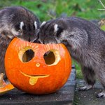 Animais se divertem com abóboras de Halloween em zoológico; veja fotos http://t.co/UrWIucHz2y http://t.co/u9VzQdHow7