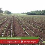 Con siembra de primeras 21has #Stevia, se inicia ambicioso proyecto de cultivo de 300has. en todo el Edo. @ferortegab http://t.co/G1XhRyq2Xv