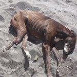 La perra galgo con fractura que esta en Coronel AÚN NO RECIBE AYUDAAA!!! RT x fa @Verofilu @22031967 http://t.co/xzYXgmZvj6