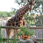 #RomaTempolibero: per #Halloween zucche alle giraffe del #Bioparco http://t.co/pW4L9KH2V6 http://t.co/4ccApo3sQs