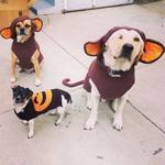 #HappyHalloween from 2 monkeys & a pumpkin! #Halloween2014 #dogs #LosAngeles #mydayinla #labrador #puggle #Howloween http://t.co/1FB9n5MIAG