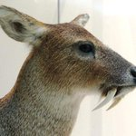 Strange deer with vampire-like fangs exist in Afghanistan http://t.co/fH1C8MdysM http://t.co/7BmjhW3JIL