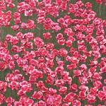 just a few poppies up close #TowerPoppies @HRP_palaces http://t.co/wXZLcuAJmX