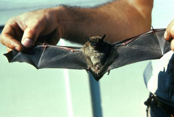 """@MNRFcentral: #DYK? The Little Brown Bat has the weight of 2 quarters! #Batweek http://t.co/ddPDrHqjQW"""