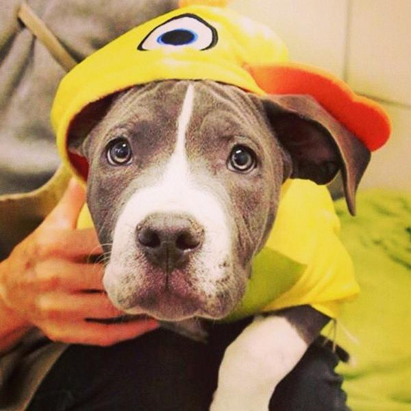 Happy Halloween from Spartacus! He is looking for his forever home @spcaoftexas http://t.co/V6nGX35ca6