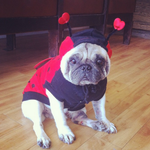 51 Pugs Who Just Want Halloween To Be Over http://t.co/WLhOwv34dZ http://t.co/OpAwSEauSo