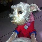 Se nos perdió LUNA Una mini schnauzer de año y medio Tiene un collar con el nombre y el tel  RT POR FAVOR http://t.co/FUYEDysBAI