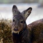 Fanged deer pops up in Afghanistan, 60 years after its last appearance http://t.co/8xBGtmAJM6 http://t.co/5MmYaxNtSs
