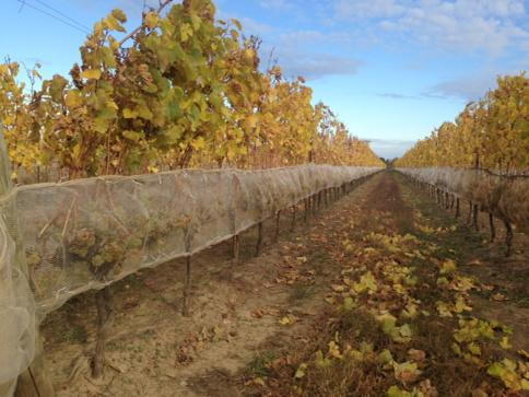 Mother Nature doesn't need Photoshop for fab colours. Some of our #Icewine grapes cozy in their nets #harvest14 http://t.co/8StMmiFVAg