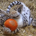 CUTE VIDEO ALERT: Zoya carves her own #Halloween pumpkin. Story on #NewsPoint at 11 @FOX59 @IndianapolisZoo http://t.co/pcAne2LPXQ