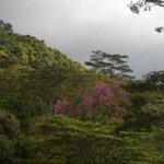 """""""@kompascom: Pohon Berdaun Pink di Flores yang Selalu Bikin Penasaran http://t.co/LeDIYjcBd3 http://t.co/6Zy3IhkYow"""""""