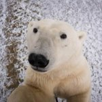 Even polar bears are taking selfies now http://t.co/CrRuY7zxXb http://t.co/qDVPfHrTAg
