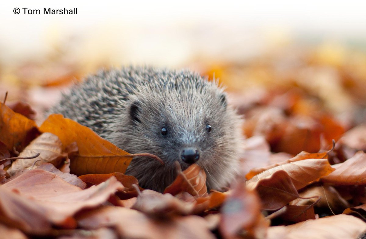 Remember, Remember #Hedgehogs this November! Please follow our guide b4 lighting your #bonfire http://t.co/CzALxx4AIw http://t.co/j7U2pDXDNq
