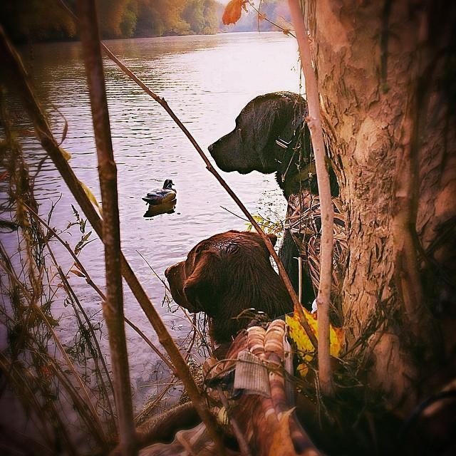 Bobby F.'s #CabelasCanines keep an eye out for birds. Share pics of your pup in the field! http://t.co/JHPpUmW1uI