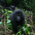 In Uganda RT @WildlifeTrails: Gorilla permits reduced by $150 during November http://t.co/4aj3a5WnZR  http://t.co/OOT3j119kA