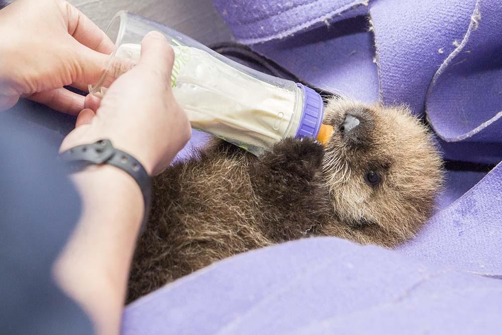 Shedd's newest resident is an orphaned southern sea otter pup! Read her story here: http://t.co/Eu7sGoTcr8 #sheddpup http://t.co/sLgFNRu81d