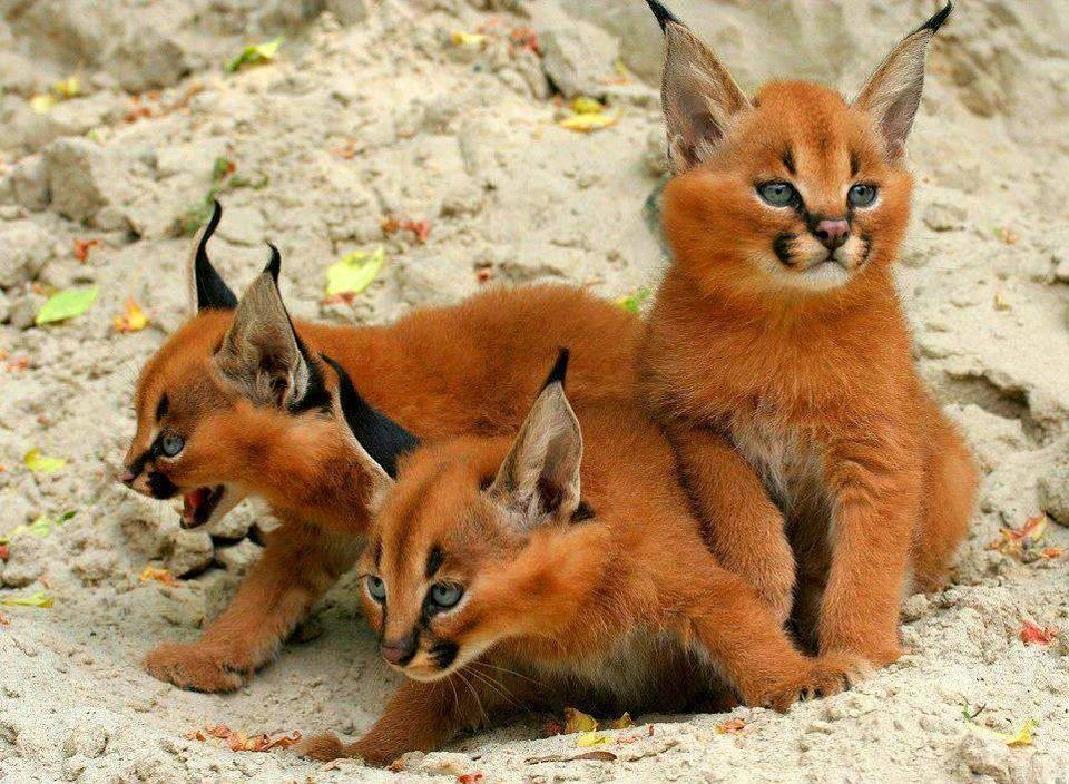 Caracal kittens: http://t.co/EPaX0AyG9u