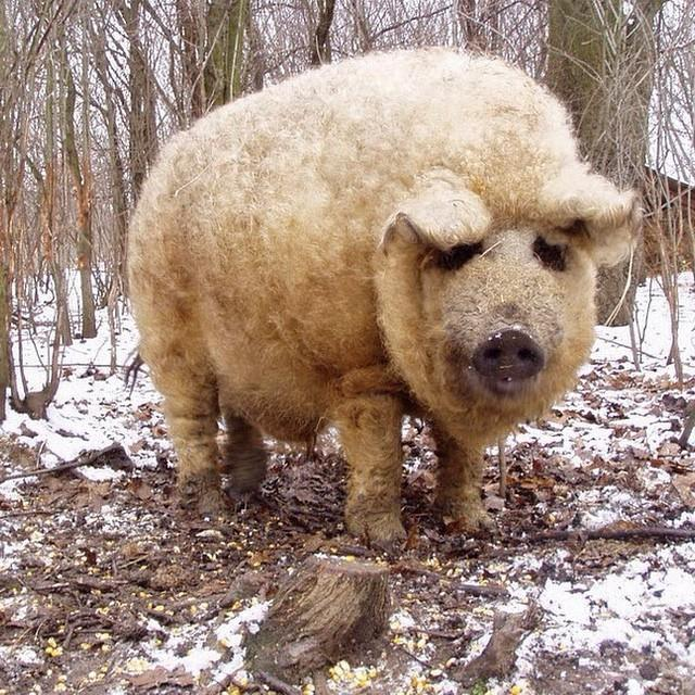 @EstherThePig yall, check this out! Rare pig breed called Mangalitsa that has fleece-like hair that resembles sheep! http://t.co/pZKAlXXtyP