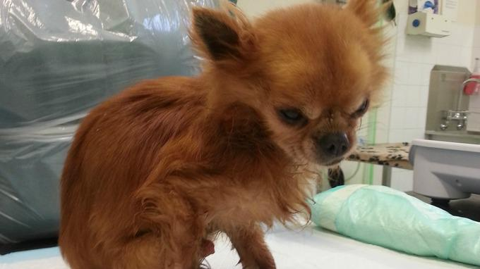 Do you recognise this chihuahua? He was found in Pembroke weighing little over a kilo http://t.co/OthowbQ7UJ http://t.co/Xj2aRcVuTu