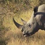 Caça ilegal matou 1.020 rinocerontes na África do Sul em 2014 http://t.co/UadjSzg3aK #G1 http://t.co/VnM8GcTlGW