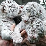 Worlds first #WhiteTiger Safari to come up in #India, #MadhyaPradesh http://t.co/A8tPiLtZcq http://t.co/C4VdI5rKru