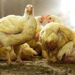 Kippen kunnen gevaccineerd worden tegen de vogelgriep. En dus is de vraag: ruimen of spuiten? http://t.co/q9x9Yv0UI2 http://t.co/J6Awbtc4qy