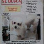 Poodle enano perdido en Ñuñoa http://t.co/gEpaCNOhSI