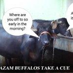 Azam Khan buffalo takes the cue #WahAzamWah (satire) http://t.co/zagSUky1cB