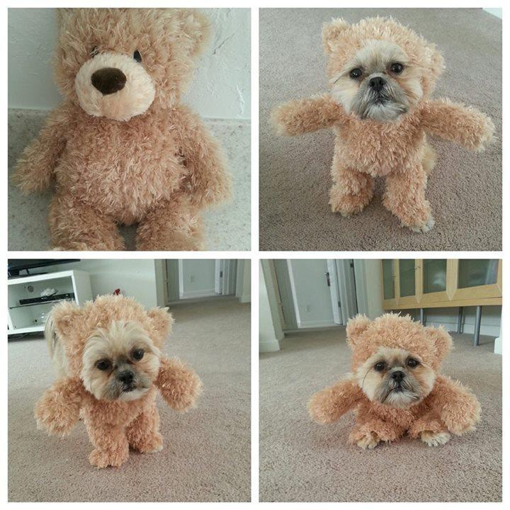 A Shih Tzu dressed as a teddy bear. Thank you, internet. http://t.co/LOdISBPSlP http://t.co/gBm41ApBgj