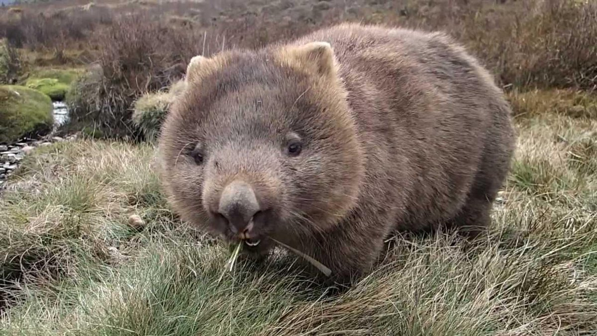 Happy #WombatWednesday! No shows tonight but we'll have sweet improv comedy from Thurs to Sat! http://t.co/2hhRHFFgwf http://t.co/Peiz0eu0GJ