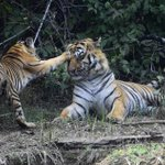 40+kg daughter asserting authority over a 200+kg father- tigers make tolerant fathers @GargiRawat @SanctuaryAsia http://t.co/edQ9vsyv72