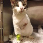 Fanny the cat had a leg amputated after being trapped in a car engine. She now needs a home: http://t.co/LShCFGBGU1 http://t.co/nNUeRiiGZW