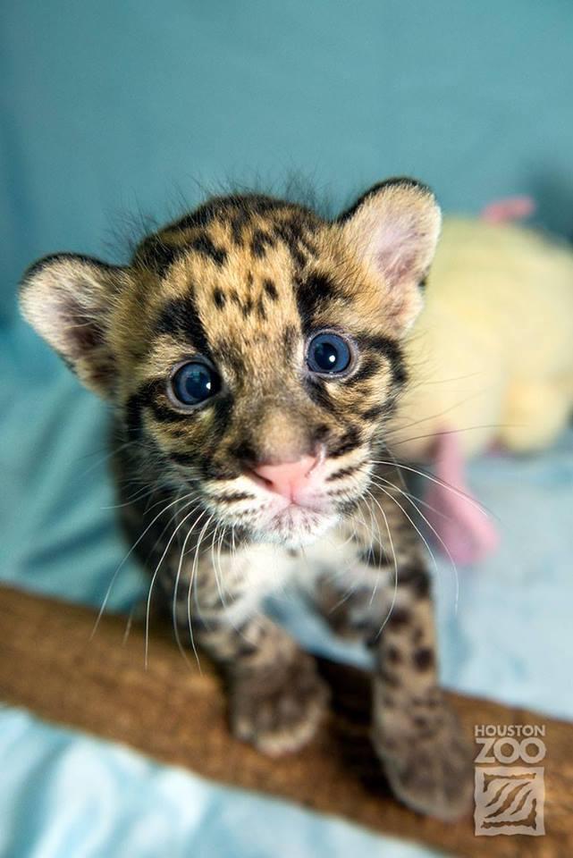 Clouded Leopard cub: http://t.co/NiKYN40MXT