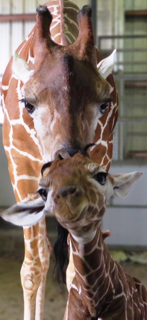 How cute is our new giraffe calf? Born Nov 7 to Luna and Duke. He'll be on exhibit soon #zooborns #giraffe #ilovejax http://t.co/wFndoHwUc6