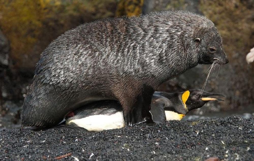 Focas estupram pinguins e pesquisadores não sabem o motivo. http://t.co/SWlXLzx0Ub http://t.co/vG8ZXVoqrj