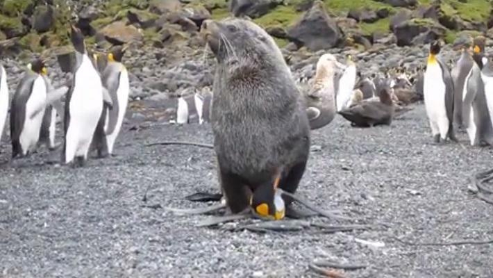 Zeehonden verkrachten regelmatig pinguïns http://t.co/3FoXI9BKKd http://t.co/OQoPKD8CVB